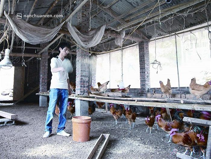 【刘远的土鸡圈舍和其他鸡舍最大的不同就是,没有任何异味。】
