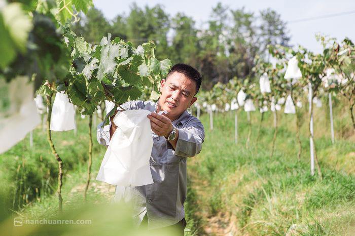 【7月8日,刘波在葡萄园里检查葡萄长势。】