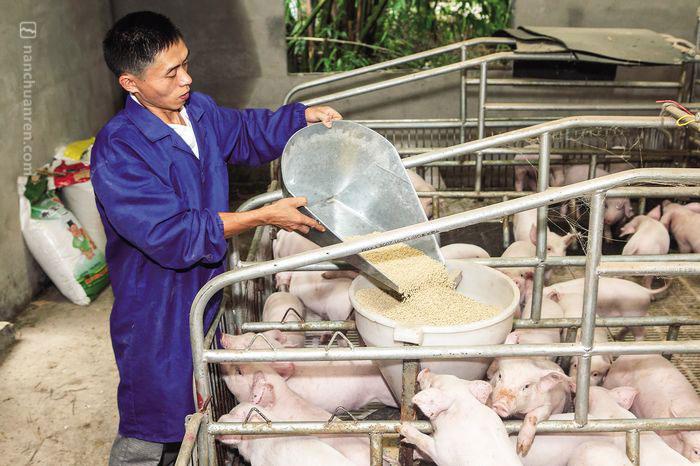 """【6月30日,严强生正在给小猪""""加餐""""】"""