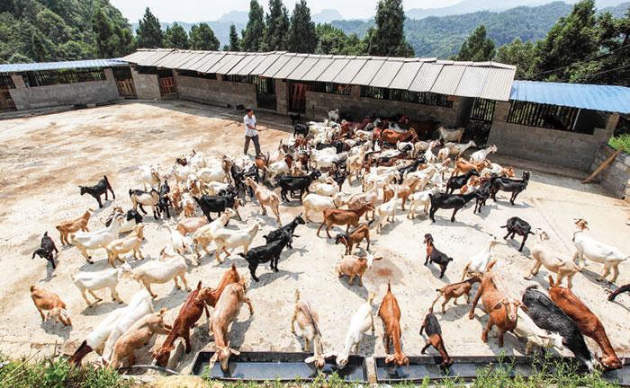 【天气较热,李文权将山羊放出圈喝水。】
