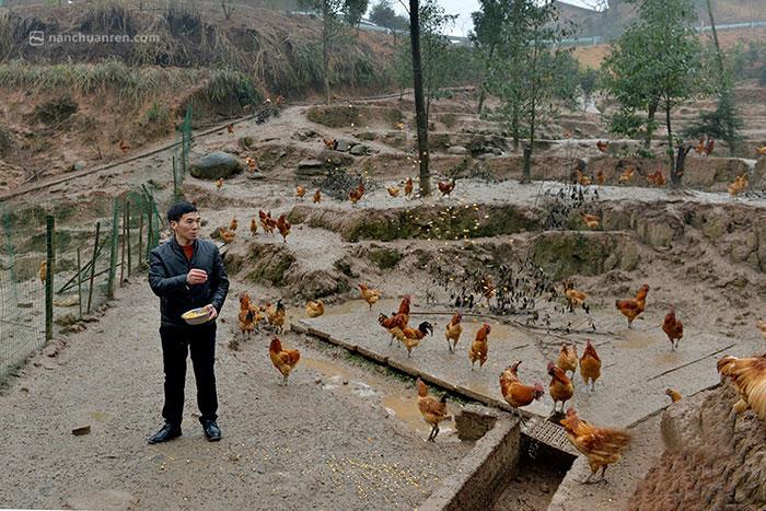 【王明洪正在给土鸡投食】