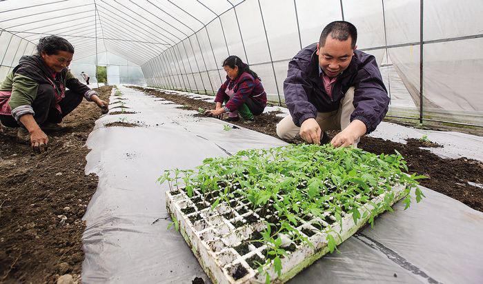 【夏国建正在蔬菜基地的大棚里和工人一起移栽番茄苗】