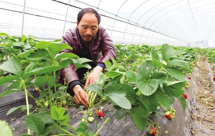 【刘克建正在草莓园里为草莓疏果】