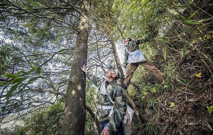 这棵生长在老龙洞附近的银杉,大哥李光明曾守护24年。