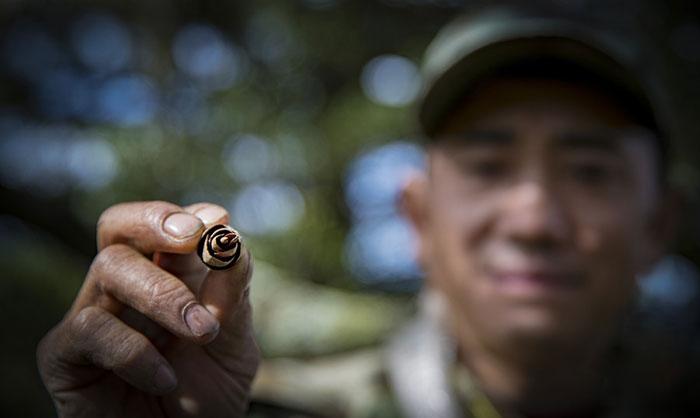 银杉籽是人工繁育银杉的基础,兄弟俩一边护林一边采集果实。