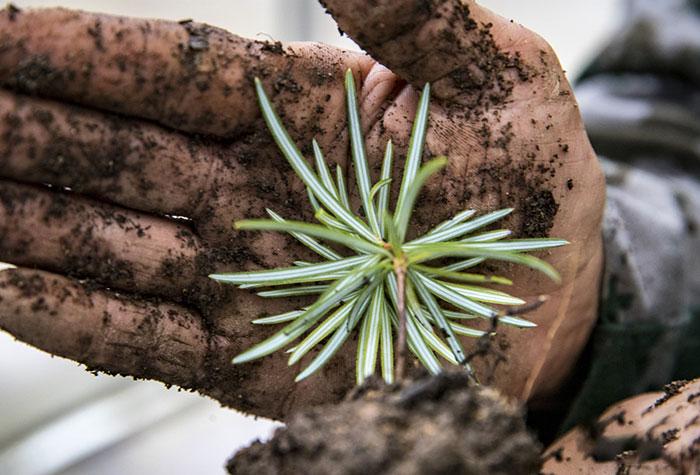 叶片背面两条粉白色气孔带是银杉的显著特征。如今,李光华、李光禄和科研人员一起培育了3000多株银杉。