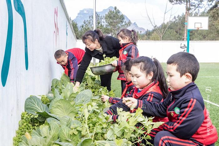 黄先群在学校附近种了些菜,课余时间,她喜欢带着孩子们一起摘菜。