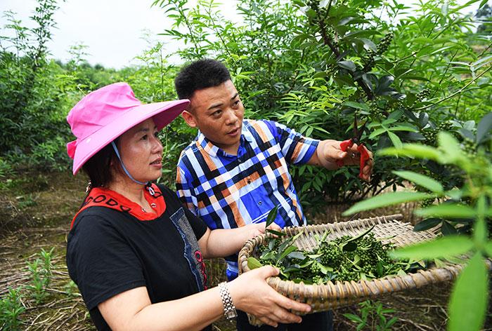 刘毅和妻子卢开在花椒种植基地内采收花椒