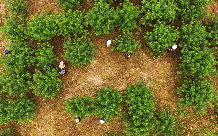 刘毅和村民们在花椒种植基地内劳作